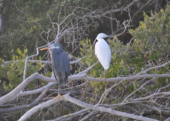 Birds_in_Golf_Links_Mangroves